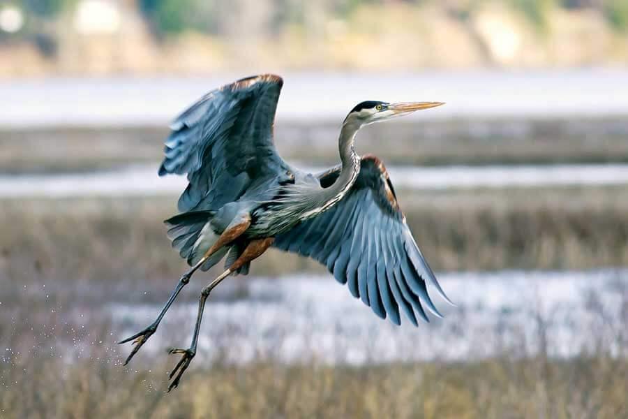 OneSEED_BirdsWingPassiveHausPlus_13 Great Blue Heron - photo by Greg Johnston